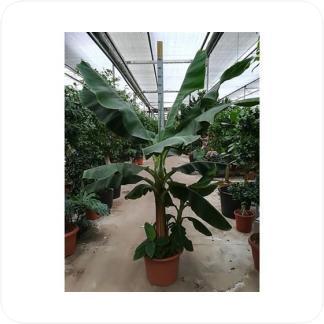 Купить Пальмы Банан Киевский Карлик (Муса) в СПб с доставкой