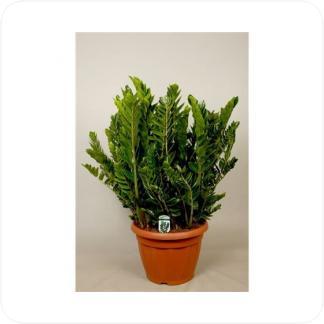 Купить Суккуленты и кактусы Замиокулькас (долларовое дерево) в СПб с доставкой