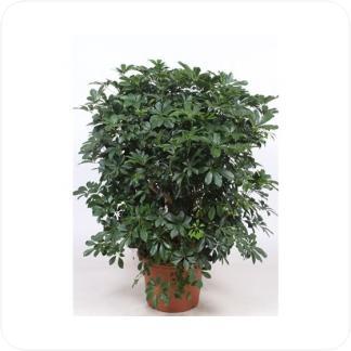 Купить Декоративно-лиственные растения Шефлера Компакта разветвленная в СПб с доставкой