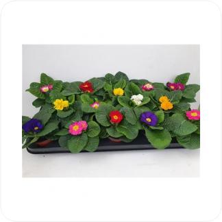 Купить Цветущие растения Примула Акаулис Микс в СПб с доставкой
