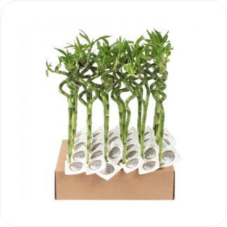 Купить Декоративно-лиственные растения Бамбук Лаки спираль в пробирке в СПб с доставкой