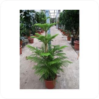 Купить Декоративно-лиственные растения Араукария Хетерофилла в СПб с доставкой