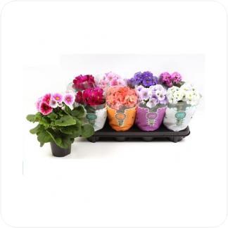 Купить Цветущие растения Примула Обконика Микс в СПб с доставкой