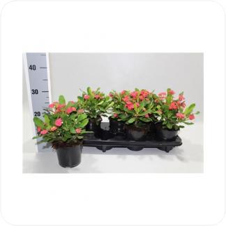 Купить Суккуленты и кактусы Молочай Милиуса в СПб с доставкой