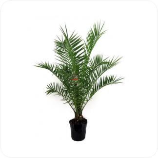 Купить Пальмы Финик канарский в СПб с доставкой