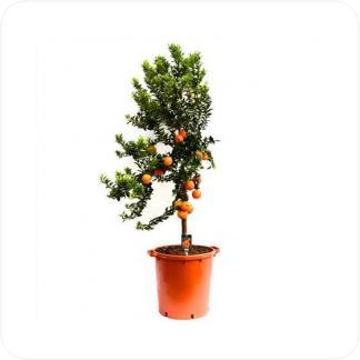 Купить Цитрусовые Мандариновое дерево в СПб с доставкой