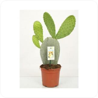 Купить Суккуленты и кактусы Опунция Индийская в СПб с доставкой
