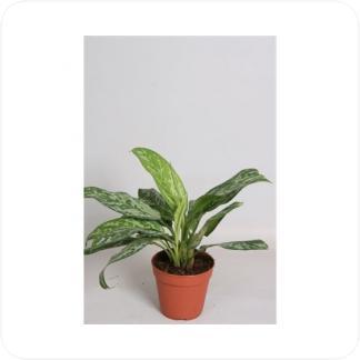 Купить Декоративно-лиственные растения Аглаонема Грин Леди в СПб с доставкой
