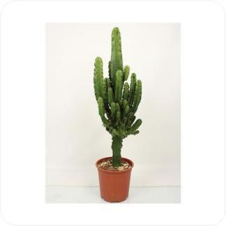 Купить Суккуленты и кактусы Молочай Эритрея разветвленный в СПб с доставкой