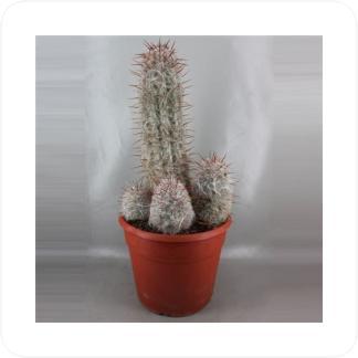 Купить Суккуленты и кактусы Ореоцереус Цельсианский (Oreocereus Celcianus) в СПб с доставкой
