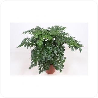 Купить Декоративно-лиственные растения Радермахера в СПб с доставкой