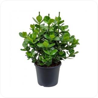 Купить Декоративно-лиственные растения Клузия Росеа Принцесс в СПб с доставкой