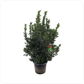 Купить Декоративно-лиственные растения Лавр Нобилис в СПб с доставкой