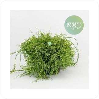 Купить Суккуленты и кактусы Рипсалис Кассута (Пустоплодный) в СПб с доставкой