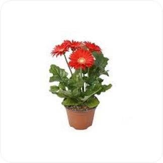 Купить Цветущие растения Гербера Грандера в СПб с доставкой