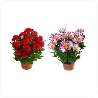 Купить Цветущие растения Хризантема в СПб с доставкой