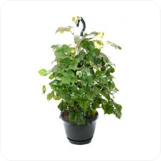 Купить Вьющиеся и ампельные растения Циссус мандиана подвесная в СПб с доставкой