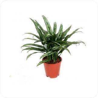Купить Декоративно-лиственные растения Аглаонема Катлас в СПб с доставкой