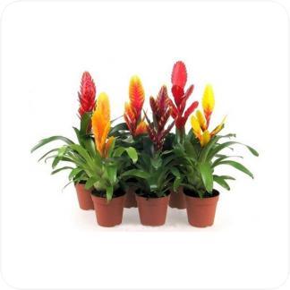 Купить Цветущие растения Вриезия в СПб с доставкой