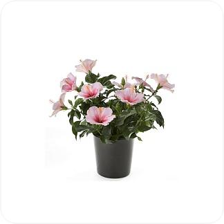 Купить Цветущие растения Гибискус в СПб с доставкой