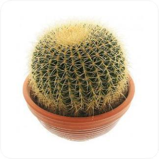 Купить Суккуленты и кактусы Эхинокактус грузони в СПб с доставкой