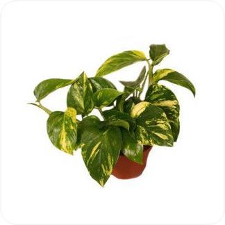 Купить Декоративно-лиственные растения Эпипремнум золотистый в СПб с доставкой