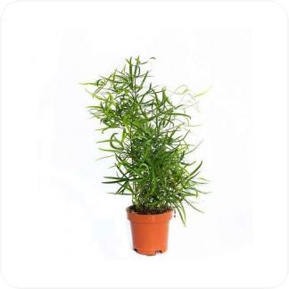 Купить Декоративно-лиственные растения Аспарагус Фалкатус в СПб с доставкой