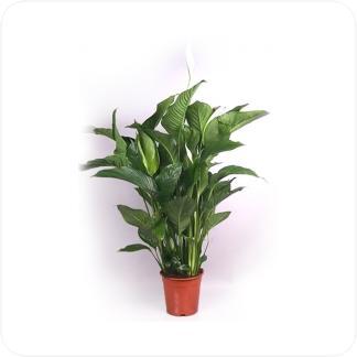 Купить Цветущие растения Спатифиллум в СПб с доставкой