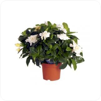 Купить Цветущие растения Гардения в СПб с доставкой