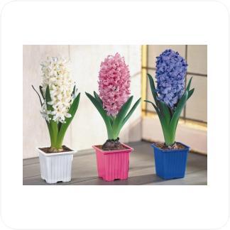 Купить Цветущие растения Гиацинт Микс в СПб с доставкой