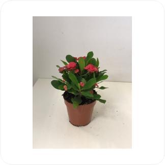 Купить Цветущие растения Эуфорбия Милии Вулканус в СПб с доставкой