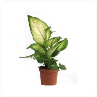 Купить Декоративно-лиственные растения Диффенбахия Камилла в СПб с доставкой