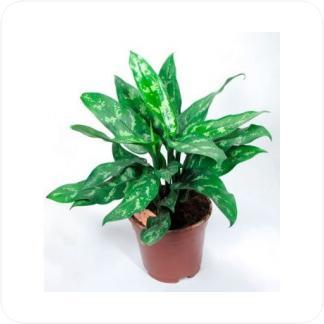 Купить Декоративно-лиственные растения Аглаонема Мария в СПб с доставкой