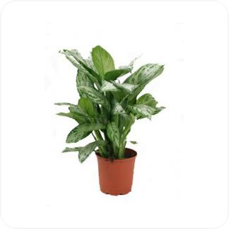 Купить Декоративно-лиственные растения Аглаонема Сильвер Квин в СПб с доставкой