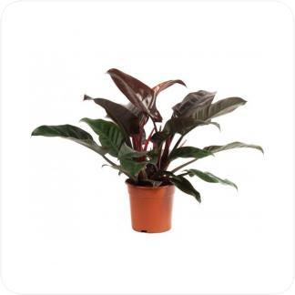 Купить Декоративно-лиственные растения Филодендрон Империал Ред в СПб с доставкой