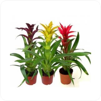 Купить Цветущие растения Гузмания Диана в СПб с доставкой