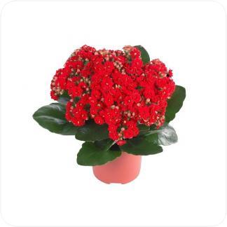 Купить Цветущие растения Каланхоэ Каландива в СПб с доставкой