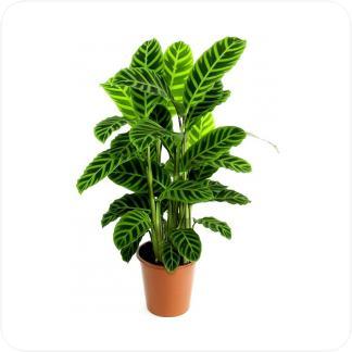 Купить Декоративно-лиственные растения Калатея Зебрина в СПб с доставкой
