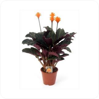 Купить Цветущие растения Калатея Кроката в СПб с доставкой