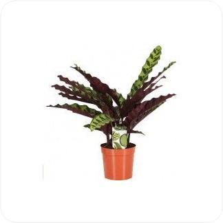 Купить Декоративно-лиственные растения Калатея Лансифолия в СПб с доставкой