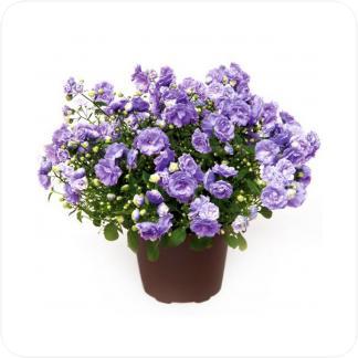 Купить Цветущие растения Кампанула синяя (Колокольчик) в СПб с доставкой