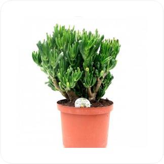 Купить Суккуленты и кактусы Крассула овата хоббит в СПб с доставкой