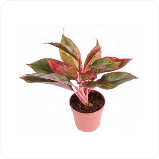 Купить Декоративно-лиственные растения Аглаонема Крит в СПб с доставкой