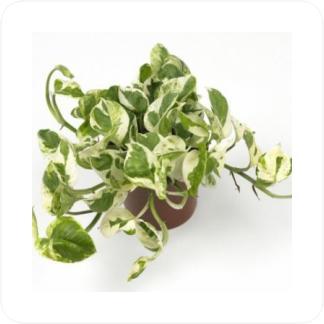 Купить Вьющиеся и ампельные растения Эпипремнум пиннатум подвесной в СПб с доставкой