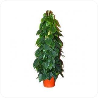 Купить Вьющиеся и ампельные растения Филодендрон на опоре в СПб с доставкой