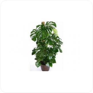 Купить Вьющиеся и ампельные растения Монстера на опоре в СПб с доставкой