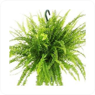 Купить Вьющиеся и ампельные растения Нефролепис грин лэди подвесная в СПб с доставкой