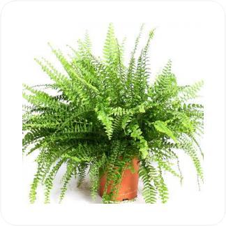 Купить Декоративно-лиственные растения Нефролепис Бостон в СПб с доставкой