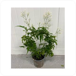 Купить Цветущие растения Жасмин многоцветковый в СПб с доставкой