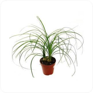 Купить Декоративно-лиственные растения Нолина 3 луковицы в СПб с доставкой